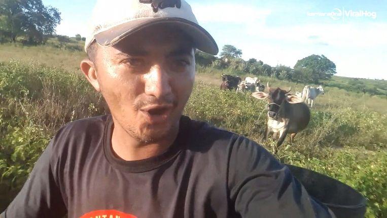 Boze koe