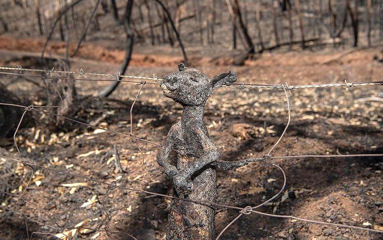 La photo d'un kangourou calciné pris au piège dans une clôture a choqué l'opinion publique.