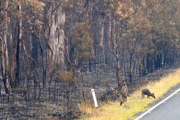 Kangoeroe's die de bosbranden overleefd hebben zijn op zoek naar voedsel in Wollemi National Park, New South Wales.