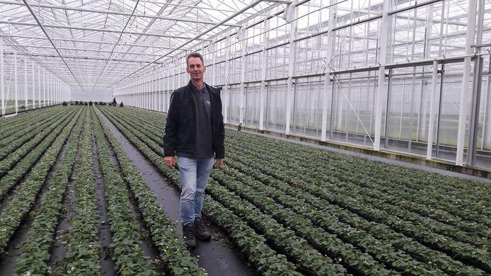 Peter van der Avoird, teler van aardbeienplanten in een van zijn kassen in Bavel.