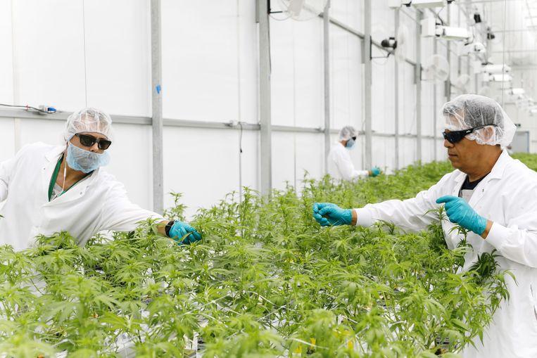 Medewerkers in een hennepkwekerij bij WeedMD, één van de dertien Canadese bedrijven die een vergunning hebben om hennep te telen  Beeld Bloomberg via Getty Images
