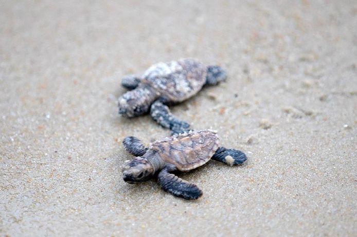 Kleine karetschildpadden, archiefbeeld ter illustratie.