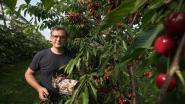 """Kersenoogst gestart in Zuid-Limburg: """"Ze zijn zo lekker dat ik 2 kilogram per dag eet"""""""