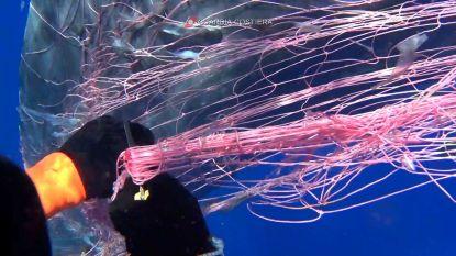 Opnieuw potvis gered uit vissersnet