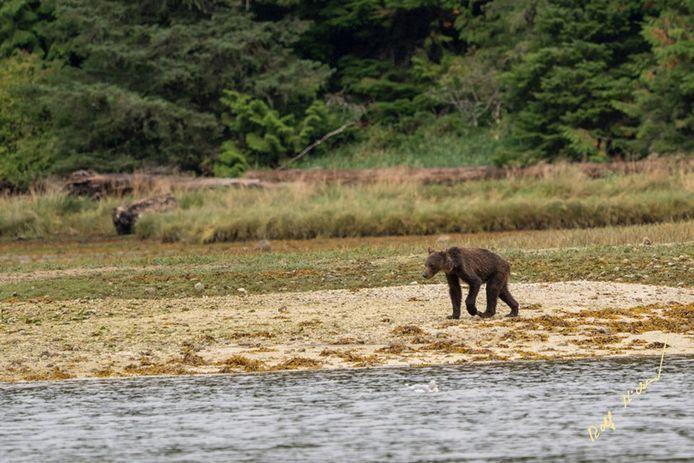 Cet ours émacié souffre du réchauffement climatique.