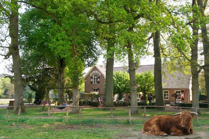 Ook de runderen rusten graag even in de buurt van de Carolinahoeve.