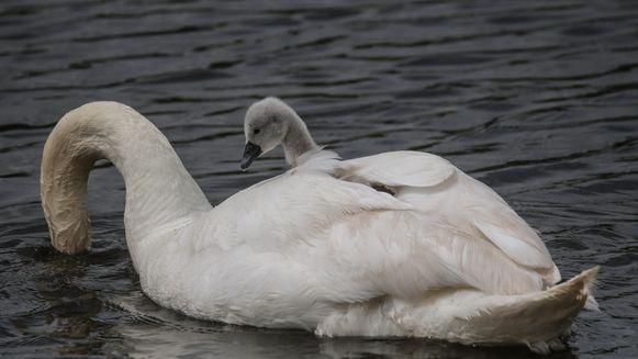 Mooi tafereel op het water in Noordschote: moeder zwaan geeft haar jong een lift.