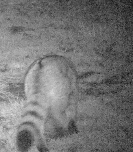 Europese wilde kat gespot in Heeze! Is hij er weer, of nog steeds?