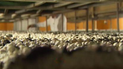 Tekort aan Belgische champignons door extreem warm weer