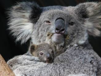 """WWF: """"Koala's in Australië kunnen tegen 2050 verdwijnen"""""""