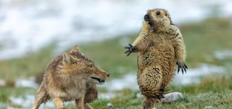 Gevecht tussen vos en marmot is de allerbeste natuurfoto