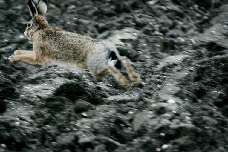 Een haas vlucht voor de jagers.  Beeld ANP