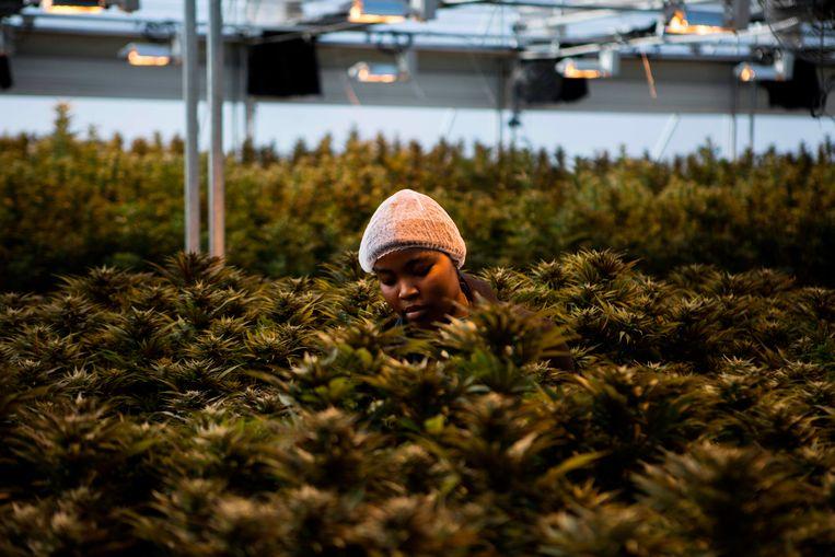 Een werknemer plukt cannabisplanten in de kas van Medigrow. Dit Lesothaans-Canadese bedrijf kweekt legaal cannabis. Het bedrijf is gevestigd in Lesotho, het eerste land in Afrika waar het verbouwen van cannabis voor medicinaal gebruik mogelijk is. Beeld AFP