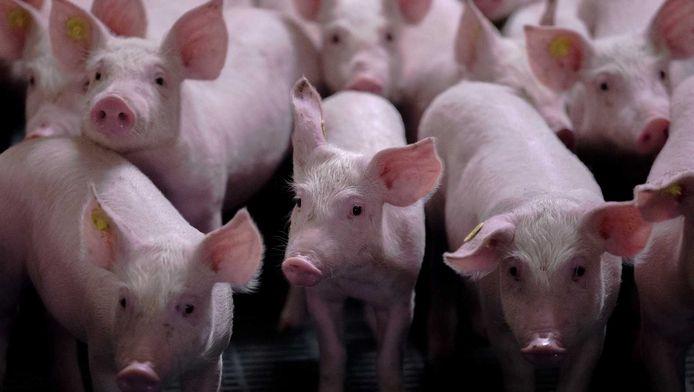 De Stichting Rotterdamse Oogst wil een kleinschalig experiment doen met het houden van varkens bovenop een dak.