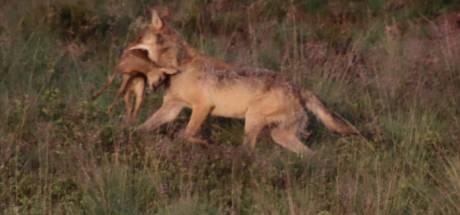 Nu is het eens geen wolf, maar een hond die in Emst een schaap doodt