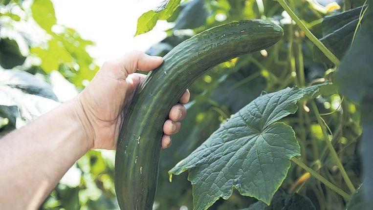 Het stiefkindje: een niet-rechte komkommer. Beeld anp