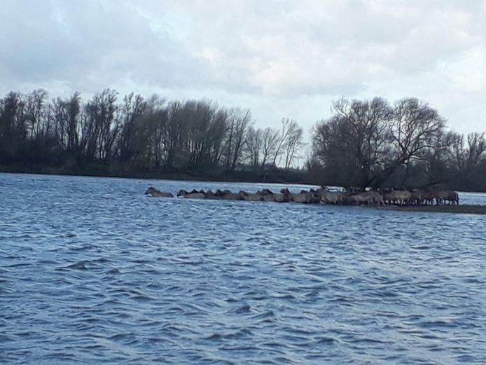 De paarden verlaten door het water het eilandje waar ze op terecht waren gekomen.