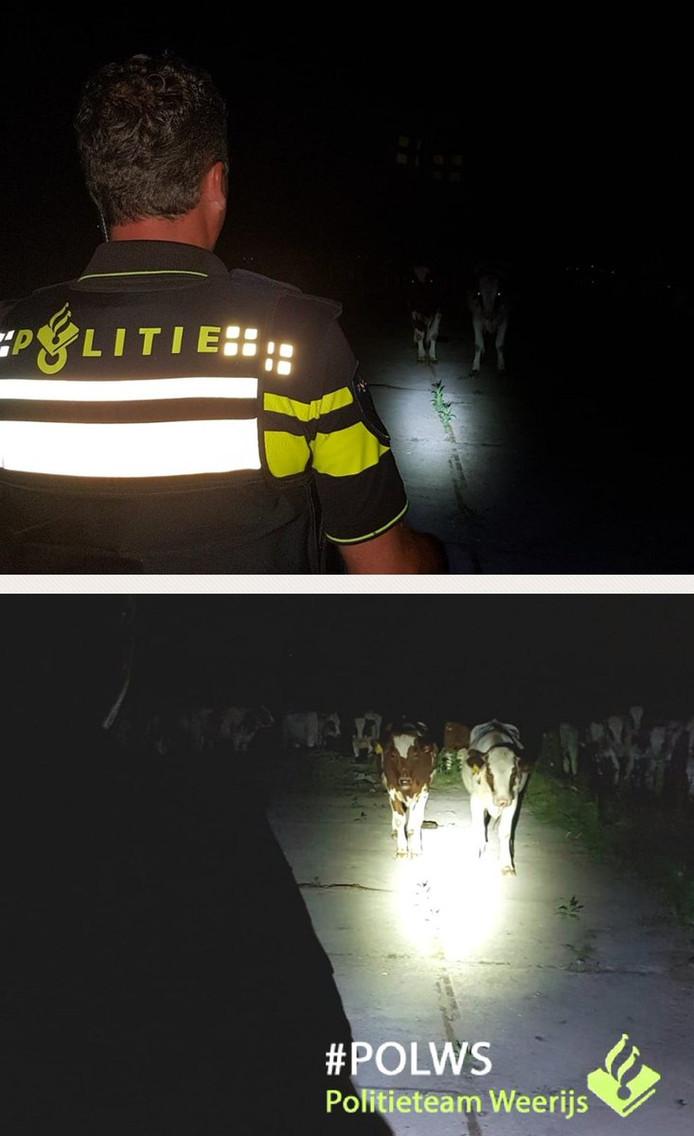 De politie druk bezig met het thuisbrengen van de veertig koeien.
