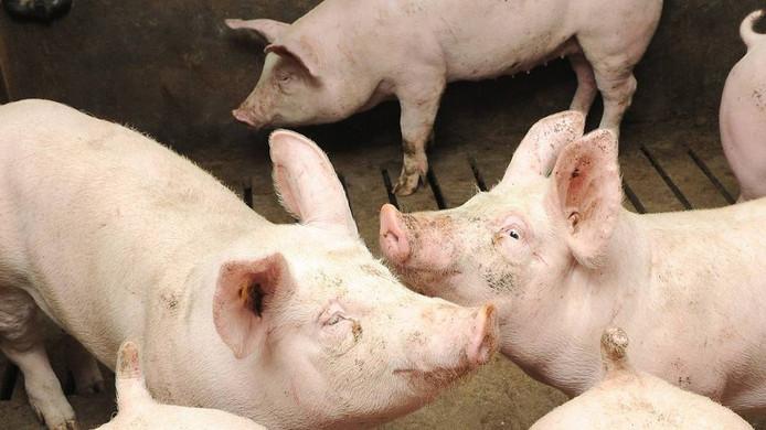 Zoals big 5566 er nu uitziet: geen knuffelbare biggen meer, maar varkens. Stevige varkens. foto: Ed van Alem