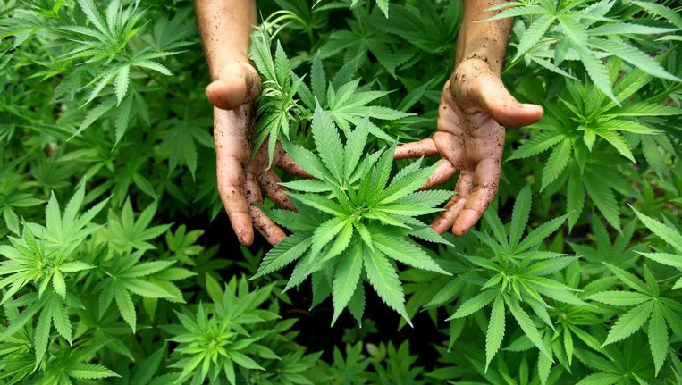 Cannabisplant. Beeld epa