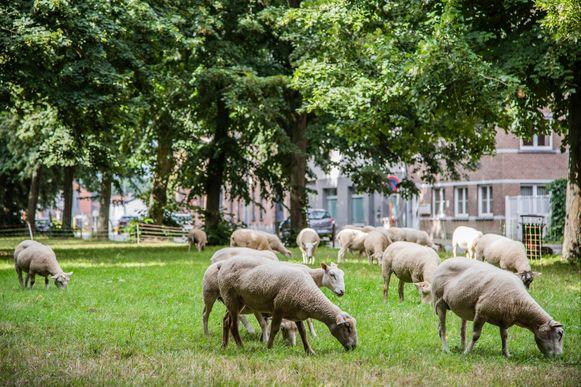 Voor de mini-jaarmarkt waren een veertigtal schapen van de partij.