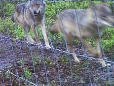 Ecoloog leidt wolfkenners op: 'Want de wolf ligt onder het vergrootglas'