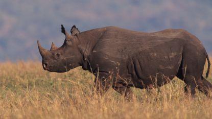 Elf zwarte neushoorns verhuizen naar ander park in Kenia: tien sterven, elfde aangevallen door leeuwen
