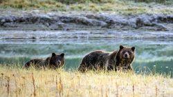 Grizzlybeer in Yellowstone verdrinkt wapiti in rivier, begraaft prooi op oever en bewaakt ze furieus terwijl toeristen toekijken