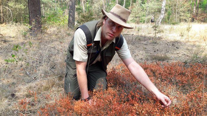 Boswachter Lennard Jasper in wat officeel de droogste plek is van de hele Veluwe; het Zandenbos bij Nunspeet, hij zit tussen de verschroeide bosbessen: dat wordt niks meer dit jaar, en bij aanhoudende droogteperioden legt de bosbes misschien wel het loodje in de natuur.
