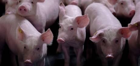 Politiek Heuvelrug neigt naar verbod tegen extra varkens in Leersum