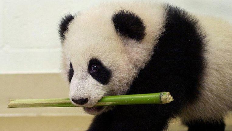 Pandabeer. Foto ANP Beeld