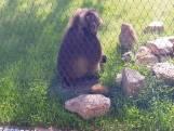 Nieuw thuis voor gelada-aapjes Blijdorp