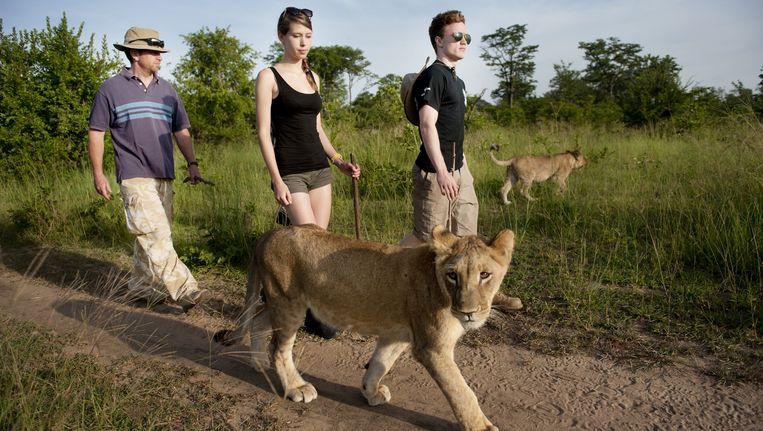 Vrijwilligers bij het Lion Encounter Programme in Zambia, Afrika. Beeld An-Sofie Kesteleyn
