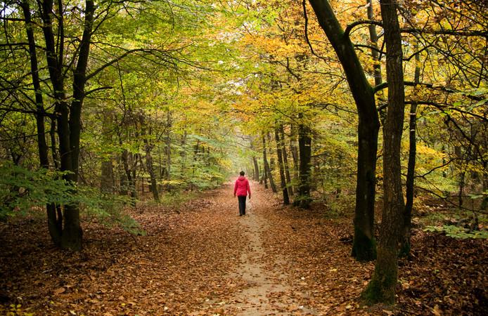 Herfstbos bij Vierhouten. ,,Als we willen dat we over vijftig jaar ook nog kunnen genieten van de Veluwse natuur, dan zijn maatregelen nodig'', aldus gedeputeerde Bea Schouten.