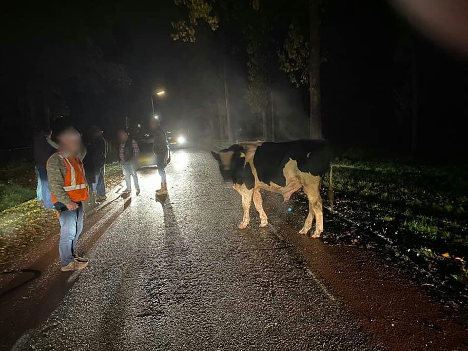 De boer, politie en dorpsbewoners hadden maandagavond in Achterberg hun handen vol aan de losgebroken stier en koeien.