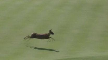 VIDEO. Hertje steelt de show tijdens golfwedstrijd