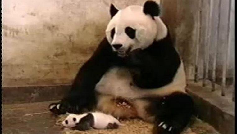 Een knikje naar de meester: de niezende panda. Beeld De niezende panda
