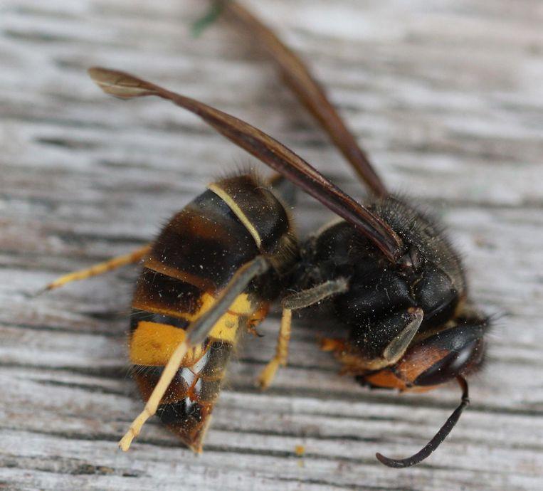 De Aziatische hoornaar is een exotische monsterwesp.