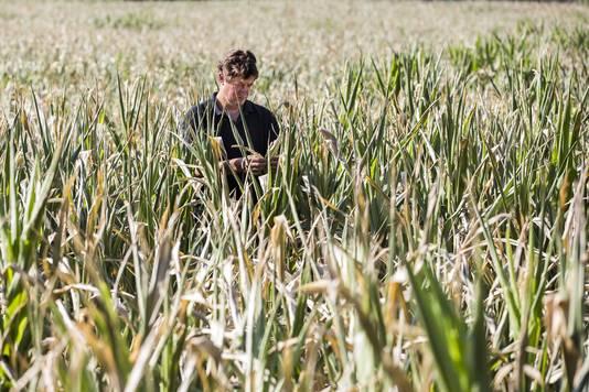 De Achterhoekse akkerbouwer Bert Sloetjes bekijkt zijn mais, die er verloren bij staat op één van zijn percelen.