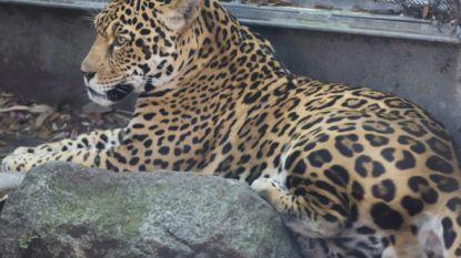 Jaguar ontsnapt in Amerikaanse zoo en gaat van kooi tot kooi om andere dieren aan te vallen