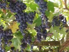 Druiven te over: Moergestelnaar geeft ze gratis weg