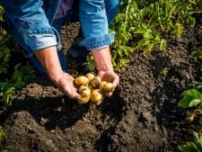 Chloorverbod ramp voor aardappeltelers: 'Zeg maar gerust dat de situatie desastreus is'