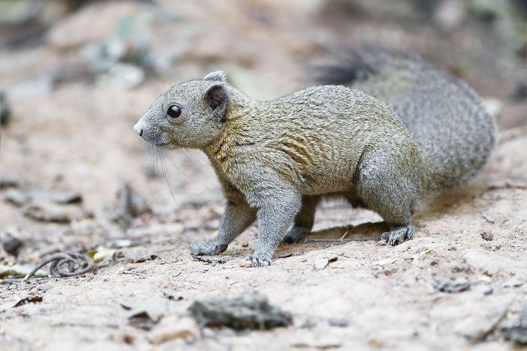 Deze dieren mogen wel: De grijsbuikeekhoorn Beeld JJ Harrison/ WikiMedia