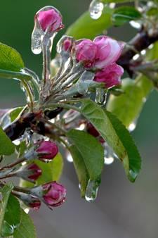 Prachtige plaatjes: telers beschermen fruit tegen de verwoestende vorst