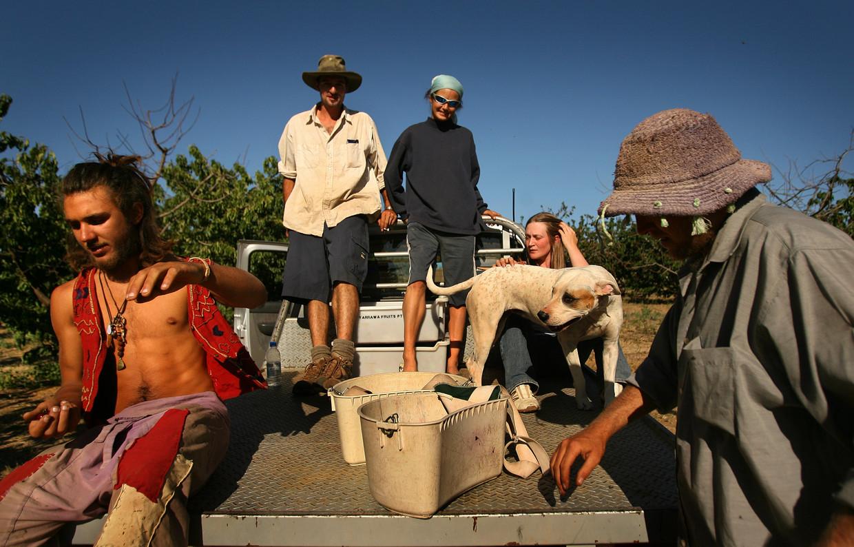 Buitenlandse werkkrachten voor de kersenpluk in Young in Australië. Beeld Fairfax Media via Getty Images