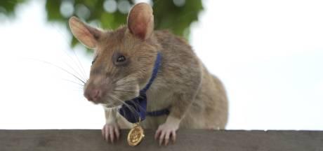 Rat vindt 39 landmijnen en krijgt nu de hoogste dapperheidsonderscheiding
