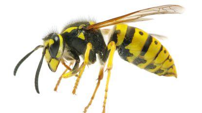 Wat moet je juist doen na een wespensteek?