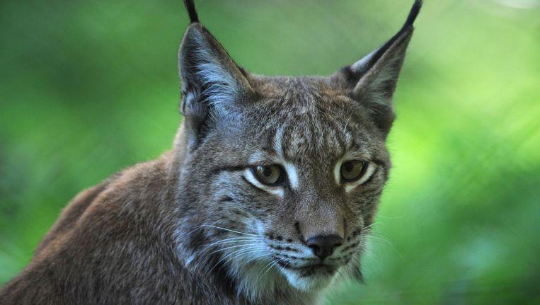Een Europese lynx in wildpark Hanau Klein-Auheim in het westen van Duitsland. Beeld anp