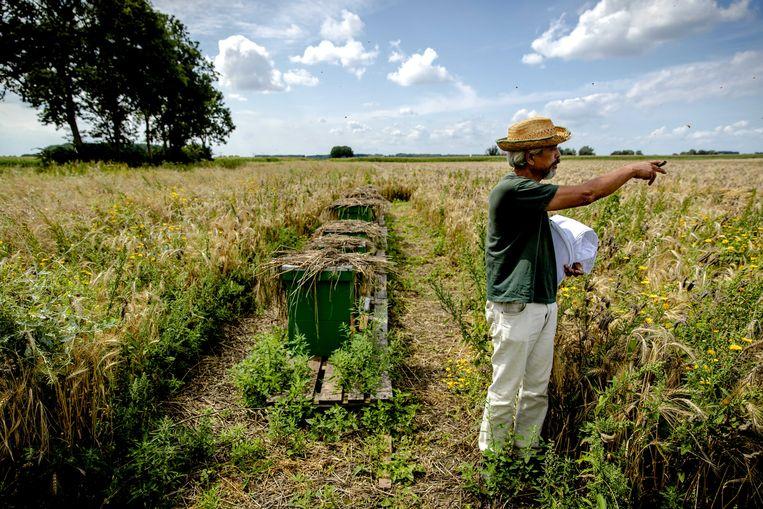 Een imker bij illegale bijenkasten in De Biesbosch. Staatsbosbeheer worstelt met een overdaad aan bijen in het natuurgebied. Dat komt doordat er net buiten het gebied heel veel bijenkasten staan. Er zijn zelfs imkers uit Duitsland en België die hun bijenkasten daar neerzetten.  Beeld ANP