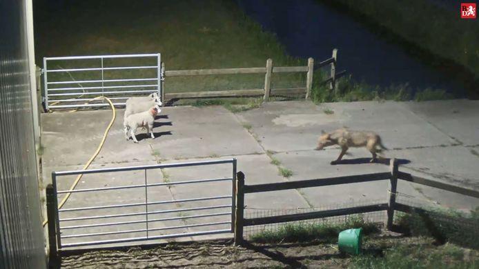 De wolf bij schapen in Vlijmen.
